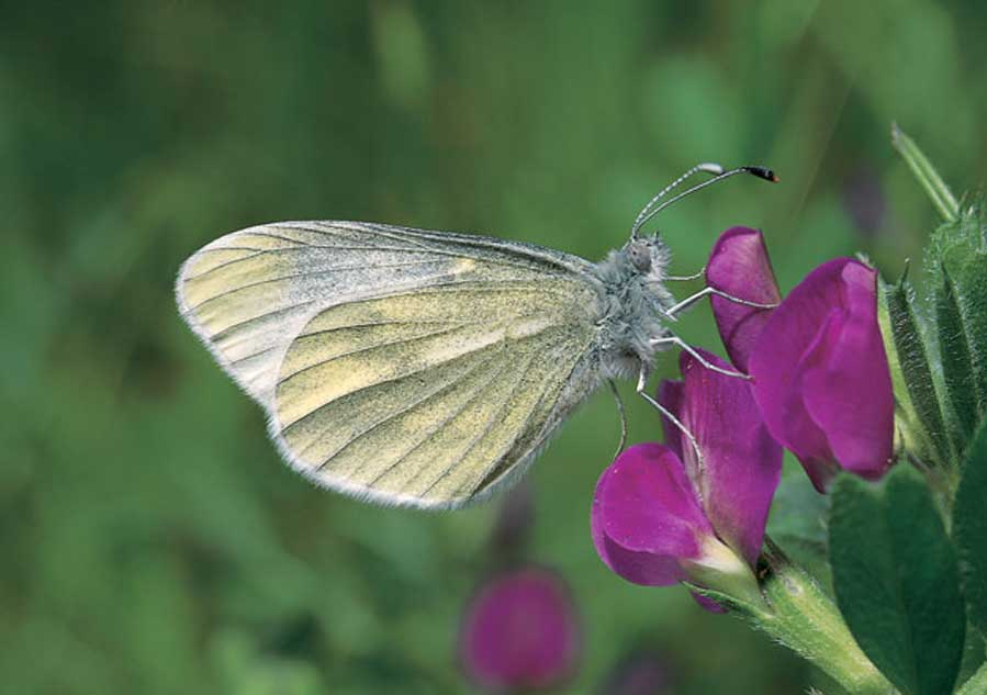 In Search of the Cryptic Wood White