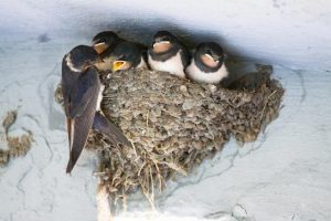Nesting Swallows