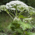 Blogs and Bugs – Sarah and the Giant Hogweed