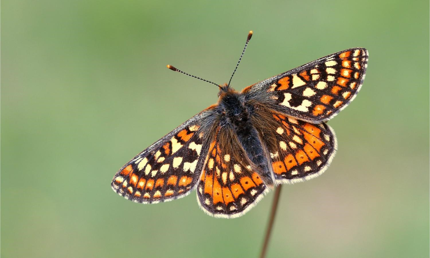 Adventures of a Busy Bee – The Marsh Fritillary Butterfly