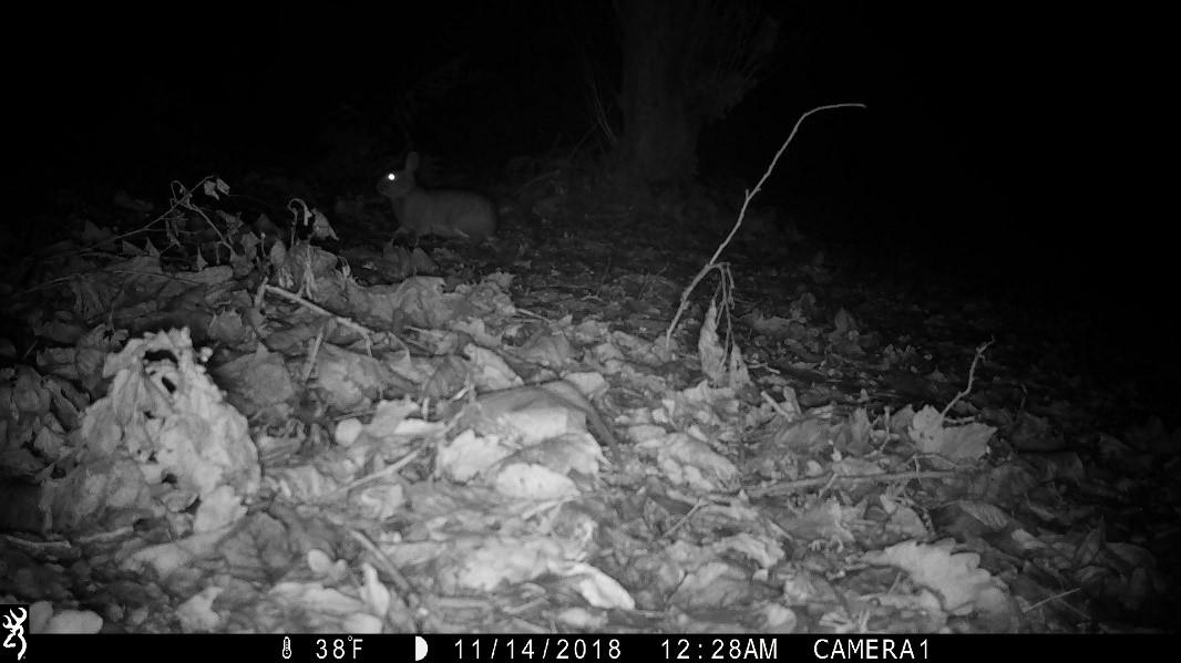 Camera Trap - Fox