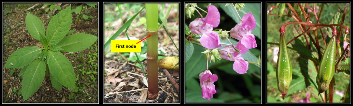 Volunteering During Lockdown – Himalayan Balsam Pulling