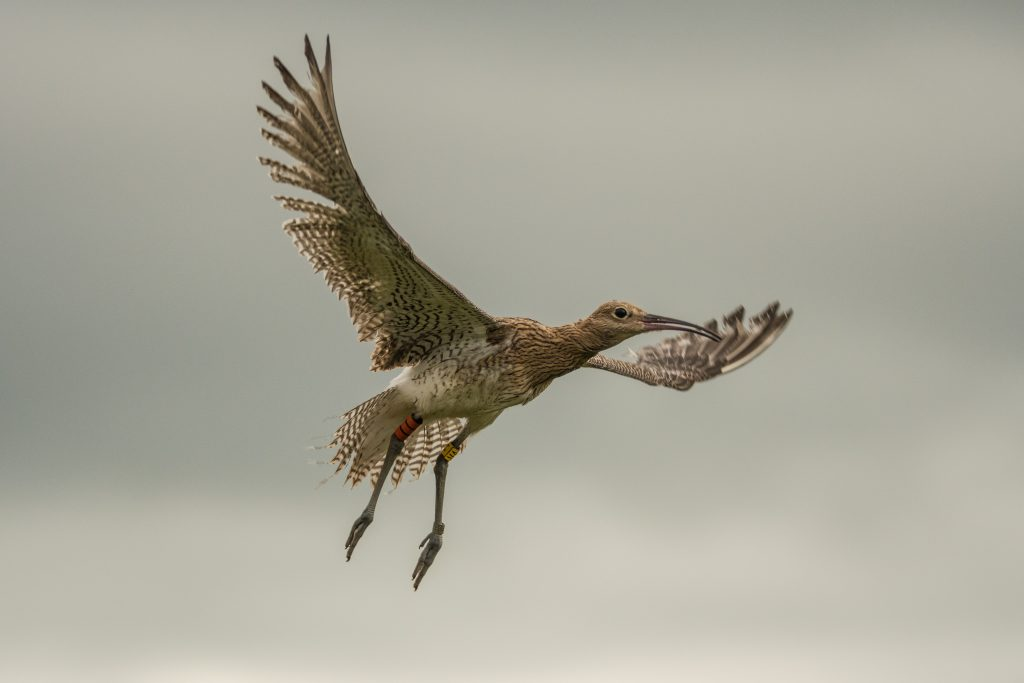 Curlew Chick Flight